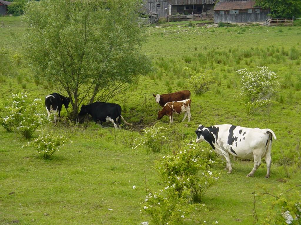 10_COWS